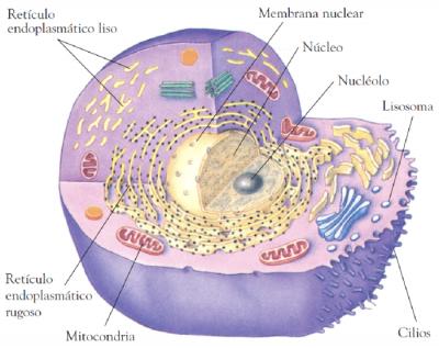 mitocondria y HIIT